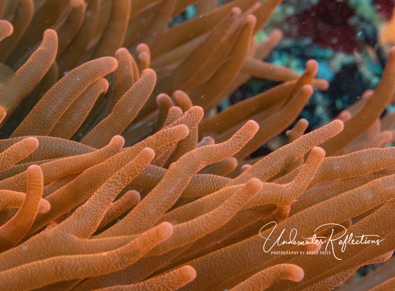 An unusual bright orange anemone, in which a pair of Maroon/Spinecheek Anemonefish (aka clownfish) lived.