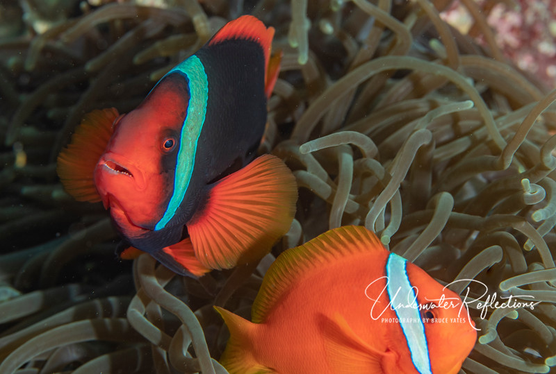 A mated pair of Tomato Clownfishes.  The larger one (4-inches) - red with orange fins - is the female, and the smaller (2-3-inch) orange one is the male.