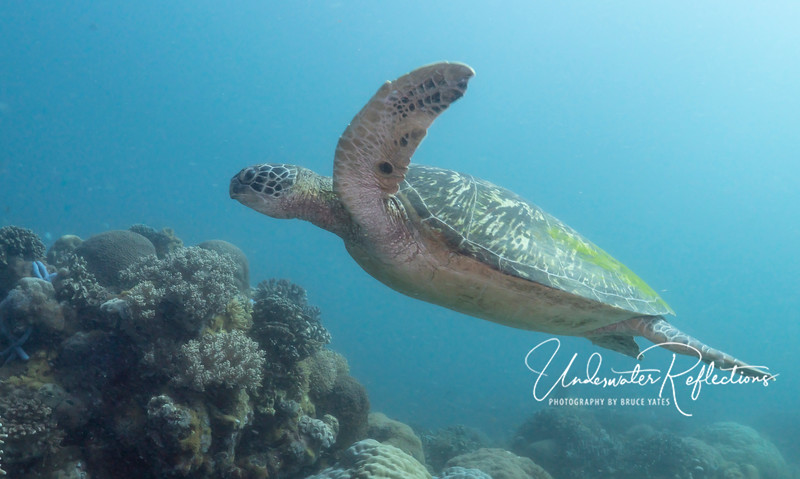 Hawksbill Turtle glides over reef at Apo Island