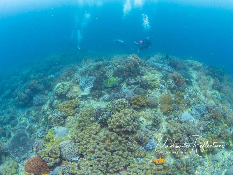 Green Turtle in the middle of Hard Corals at Apo Island