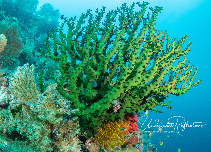 Large green coral (polyps pulled in, not feeding) and smaller green soft coral feeding