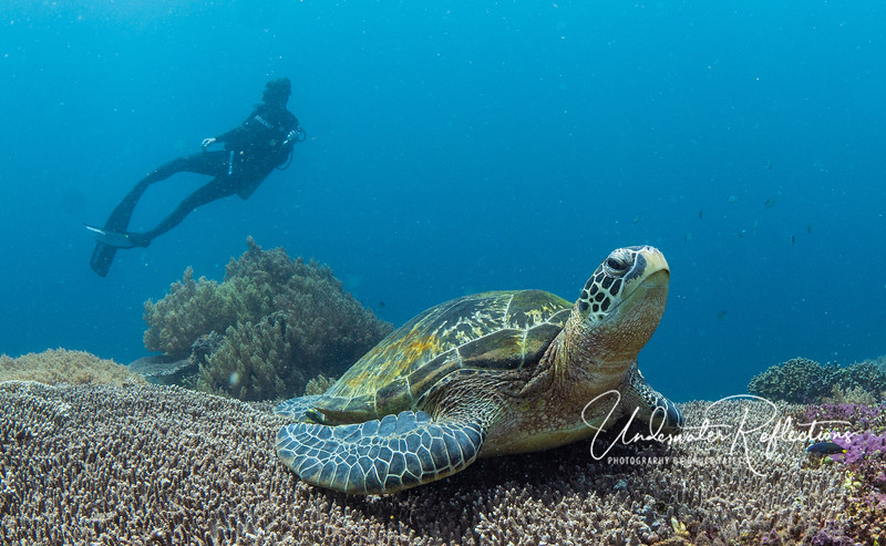 A highlight  of diving at Apo Island was the number, size and healthiness of sea turtles, both Hawksbill  (like this one) and Green. The reason is Apo's amazing hard corals, one of sea turtles' main food sources.