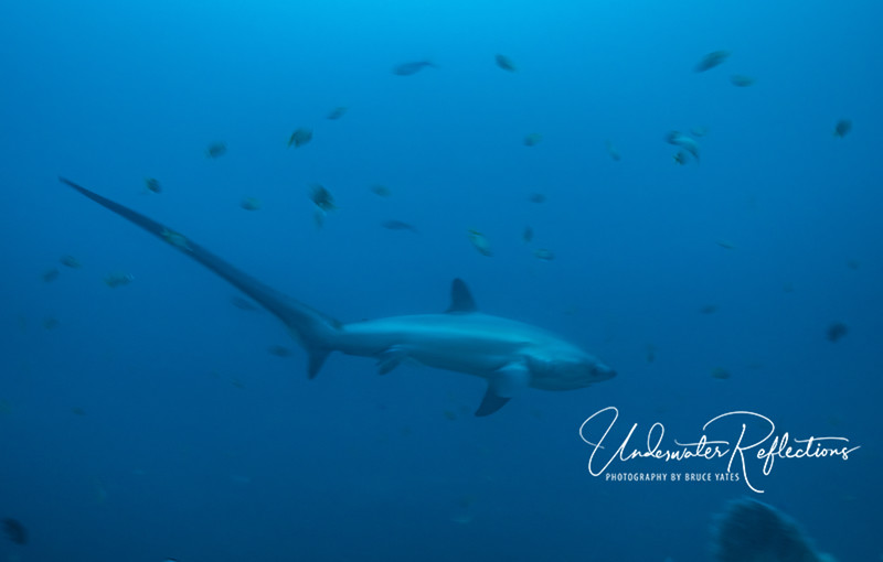 The Thresher Shark's unusual 8-10-foot tail is the same length as the rest of its body, and it uses the tail when feeding.  When near schools of small fish (e.g., sardines), it brings the tail around and snaps it (like a whip!), creating a sonic wave that stuns nearby fish...which it can then gobble up!  The Malapasqua thresher sharks are somewhat unique; they were observed a few years ago whipping the tail over their heads (instead of to the side) to stun their prey.