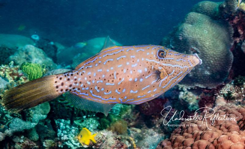 Scrawled Filefish (18 inches long)