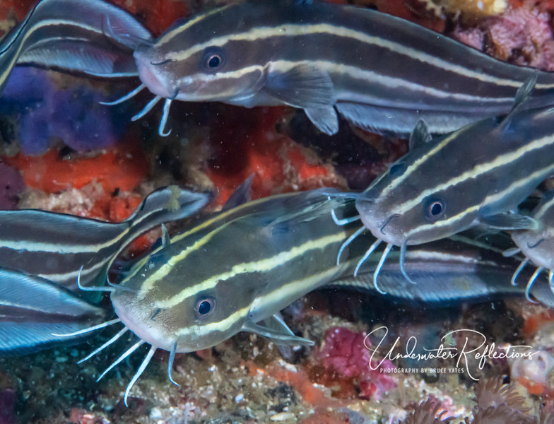 """Salt-water Catfishes, which when younger are sometimes seen in schools of hundreds of 1-3 inch fish, are in this case older and bigger, with this school only having a dozen 8-inch fish.  They use their """"whiskers"""" to stir up sand to uncover things to eat."""