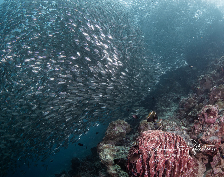 This school of 3-6 inch Sardines is believed to be the largest in the world (seven million!).  Like a living silver river, the school ebbs and flows both nearby and off in the distance.  Meanwhile, a pair of brown and white Horned Bannerfishes, living in a 4-ft wide barrel sponge below, seem to hardly notice.