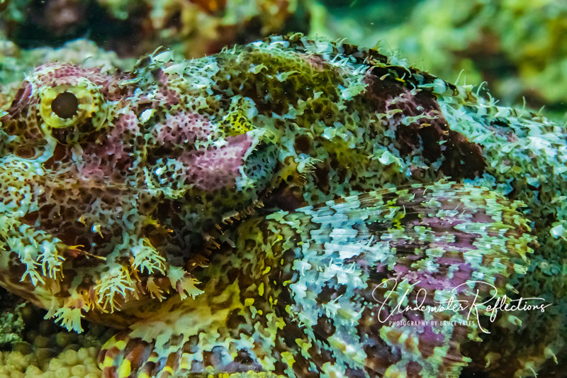 Tassled Scorpionfish - side detail