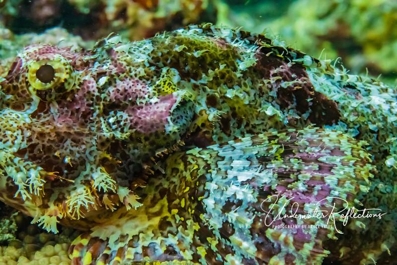 Tassled Scorpionfish - side detail