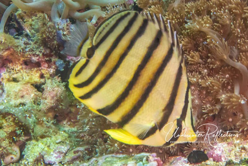 Butterflyfish (5 inches long)