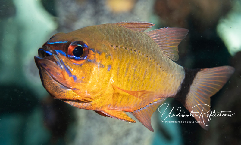 Ring-tailed Cardinalfish holding eggs in its mouth (until they hatch) to protect them.