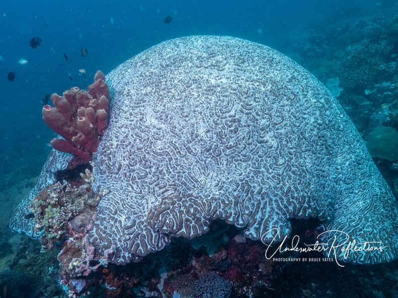 Brain Coral - the size of a VW Bug!