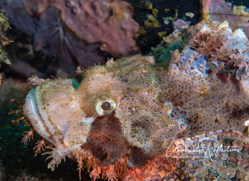 A different Tassled Scorpionfish, whose color reflects different (browner) surroundings.