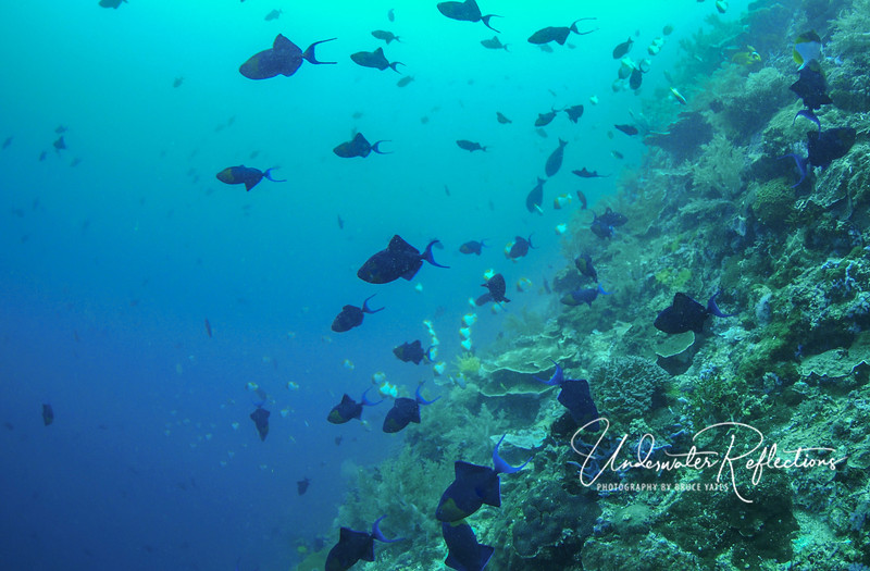 School of Red-tooth Triggerfishes (8-10 inches), with school of Pyramid Butterflyfishes in the distance