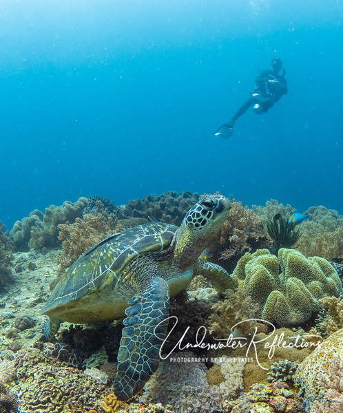 A Hawksbill Turtle checks out the divers above