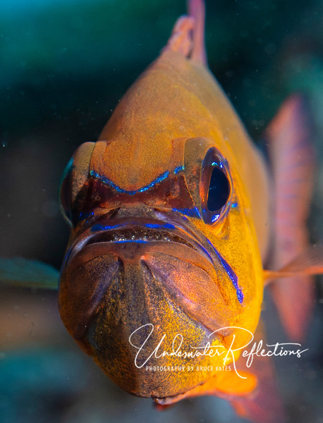 Ring-tailed Cardinalfish with eggs in its mouth...not particularly happy with me.