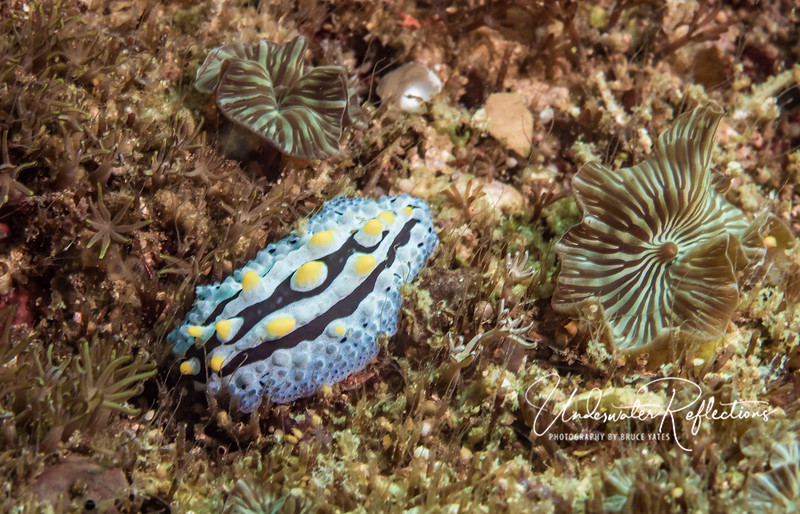 Nudibranch (2 inches long)