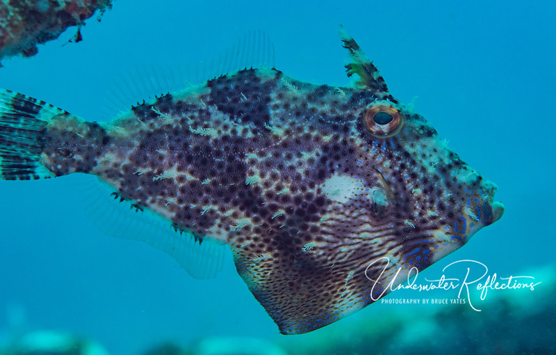 Filefish (female), 4 inches long