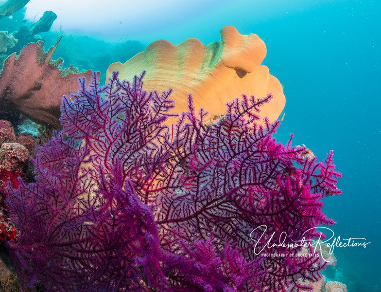 In front of a yellow Elephant-Ear Sponge is a soft coral on which only part of the polyps (separate little animals) are open and feeding (the fluffy parts), whereas some remain closed.