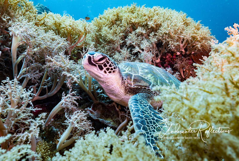 A young turtle relaxes in soft corals while deciding whether to eat some more or go back to the surface for another breath of air.