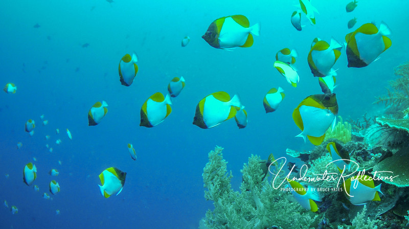 Huge school of Pyramid Butterflyfishes (5 inches long)