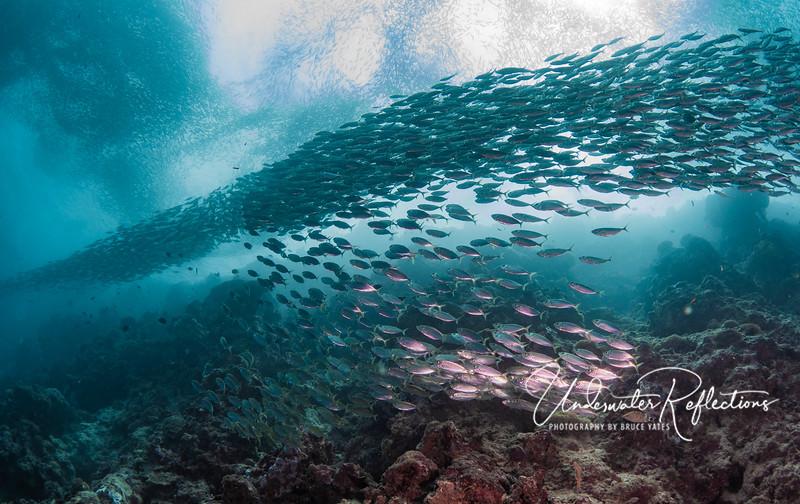 "A ""river"" of sardines"