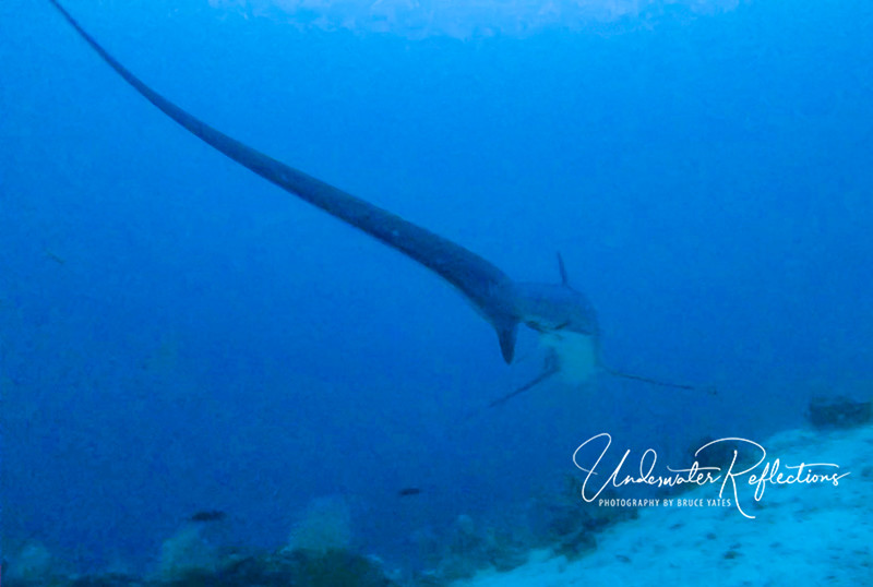 Thresher Shark tail, used to stun prey (small fish) - see description near top of this gallery.  Taken at 6AM and depth of 100ft, no strobe or flash.
