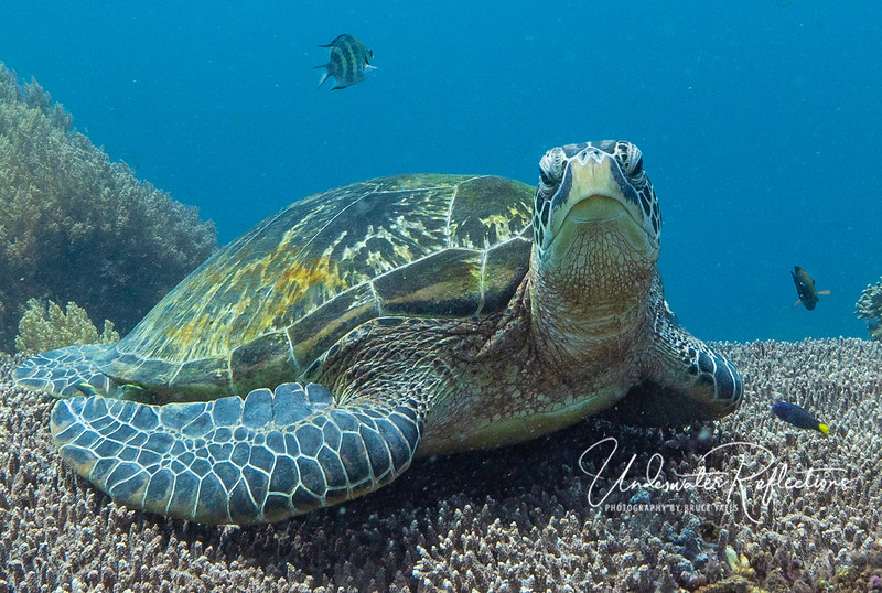 Hawksbill Turtle lying on Table Coral