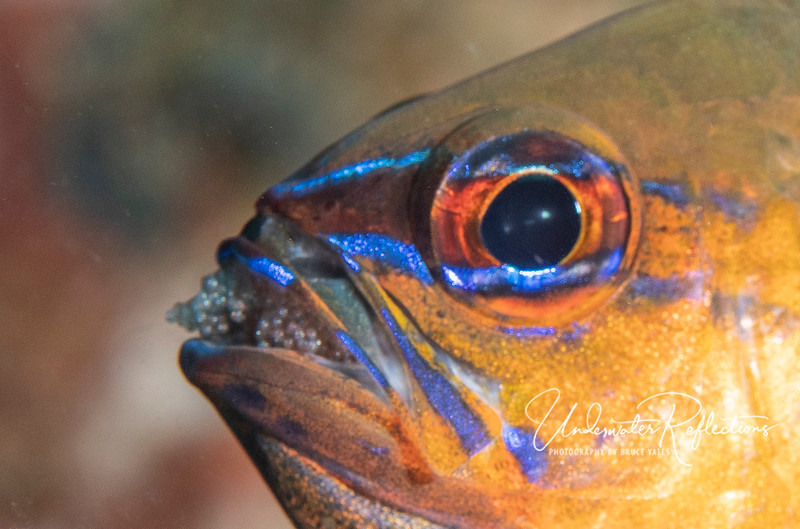 Like most cardinalfishes, this Ringtail Cardinalfish carries its eggs in its mouth until they hatch.