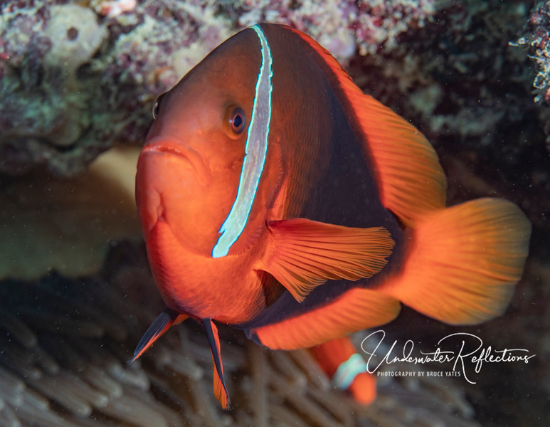 This female Tomato Anemonefish (4-5 inches) is more orange than most females, who tend to only have orange fins and tail.