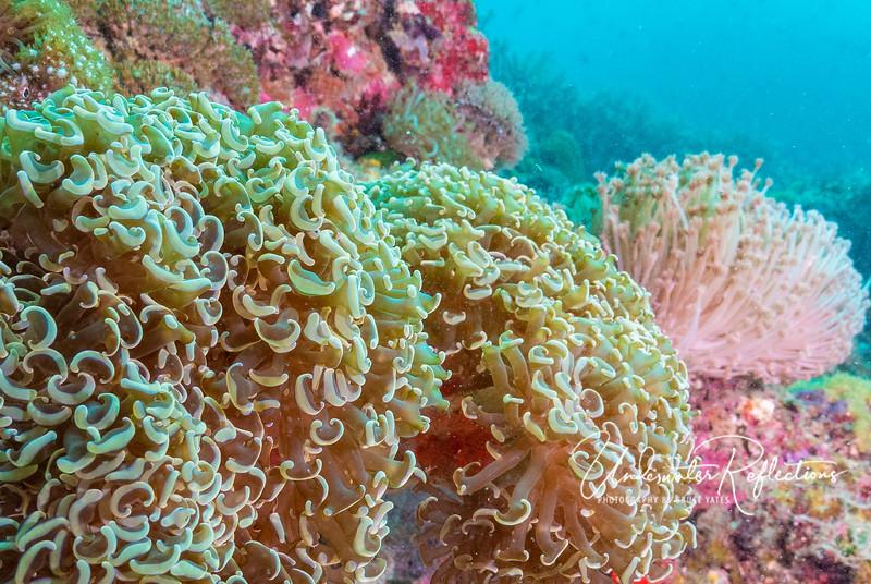Anchor Coral, aka Hammer Coral