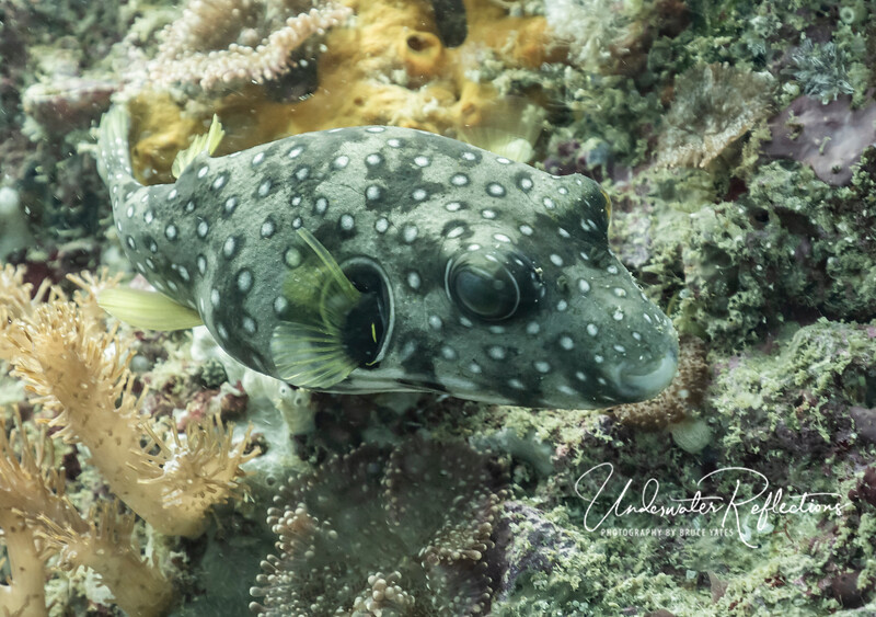 Whitespotted Puffer (8 inches)