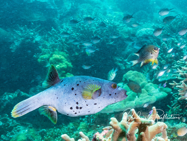 Blackspotted Puffer (10 inches)
