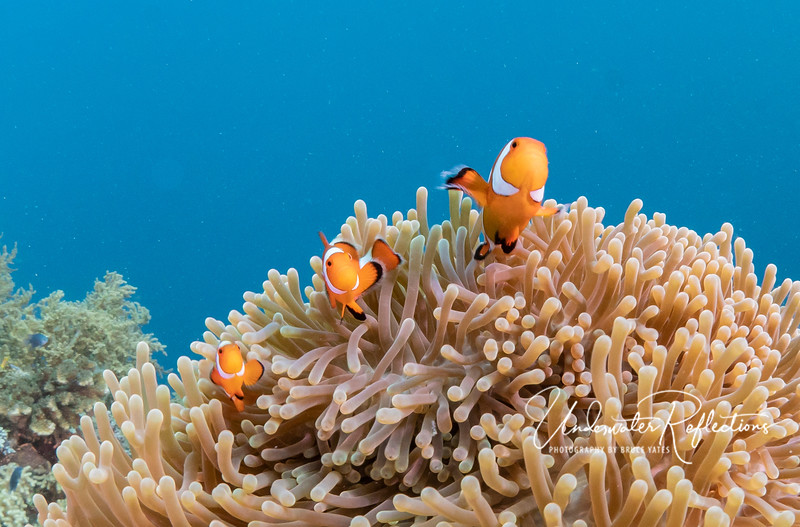 CLOWNFISHES - Here is Nemo's family (technically False Clown Anemonefishes). As with all clownfish (and most other fish, too), the largest (2-inches) is the female, the smaller one (1.5 inches) is her male mate, and the littlest (1 inch) is one of their babies.