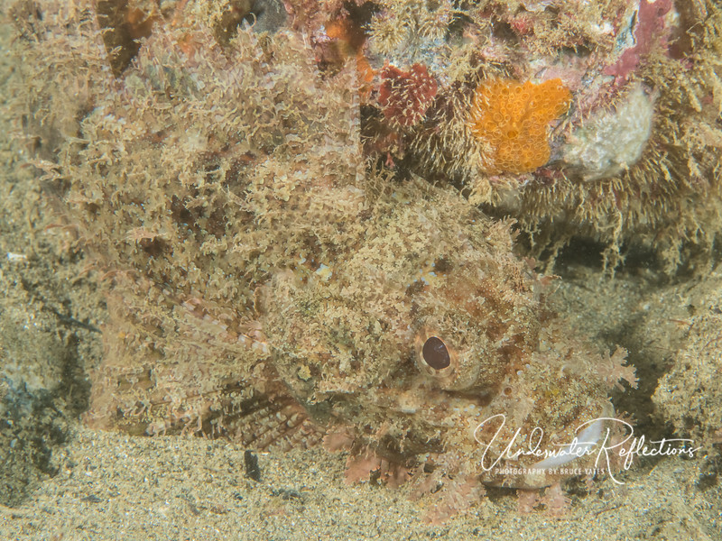 Scorpionfish in sand