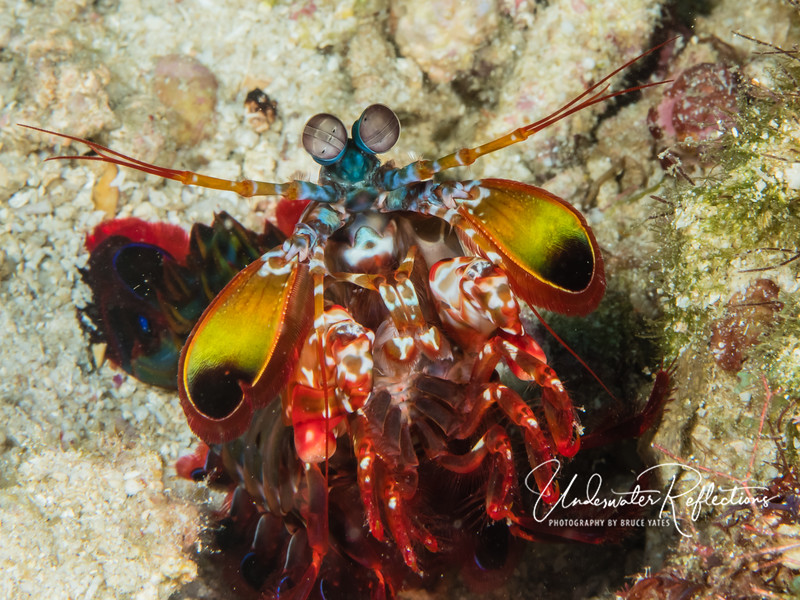 Peacock Mantis Shrimp (6 inches long/2-3 inches across)