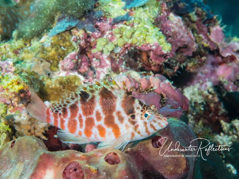 Hawkfish perched on sponge. Hawkfish do not have an air bladder, and therefore sink when not swimming.
