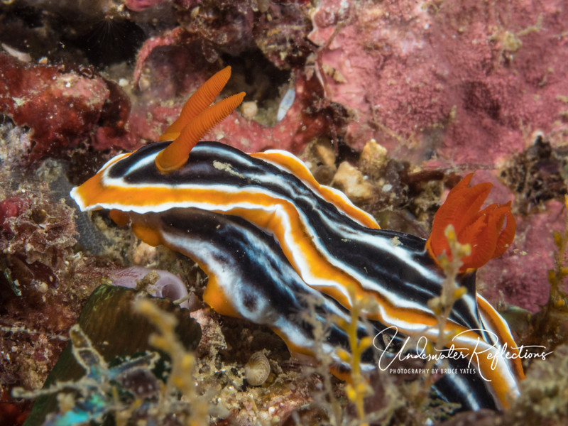 """Nudibranchs (aka sea slug) name literally means """"naked lung"""", reflecting their feathery external gills at the rear. Most also have two """"horns"""" in front, which they use to smell their surroundings."""