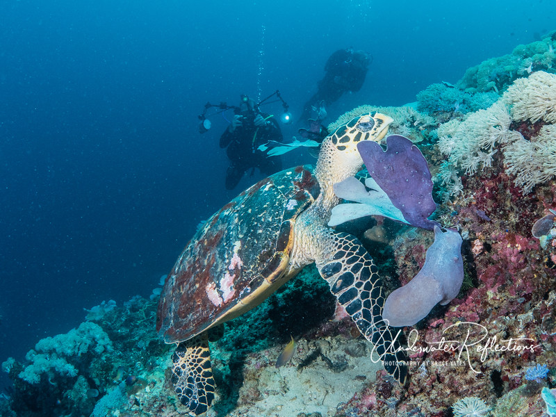 Hawksbill Turtle (3 ft long) munching on reef as Paul approaches.