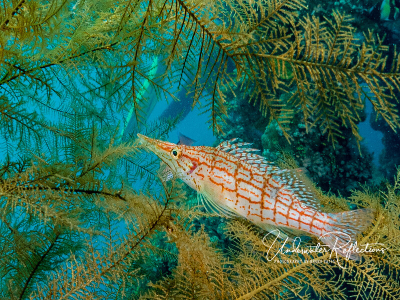 Long-nose Hawkfish (4 inches long)