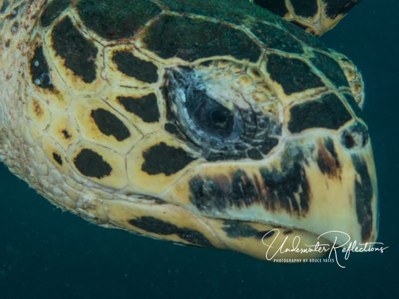 Hawksbill turtle head - this is what happens when you have a macro lens on, and turn to find a turtle swimming straight at you!