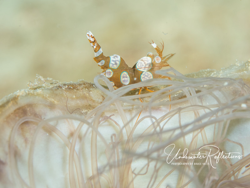 """Squat shrimp (aka """"Sexy Shrimp"""") - 1/2 inch long"""