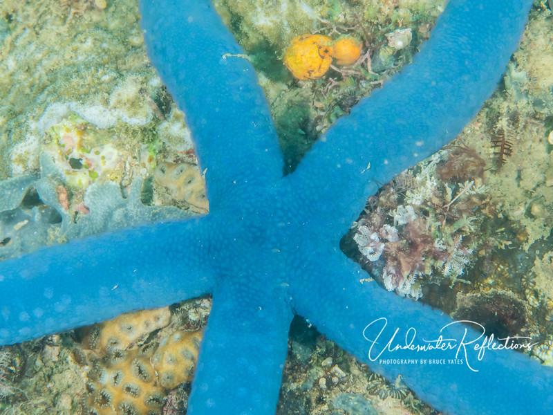 Blue seastar