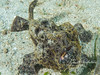 Frogfish (5 inches long)
