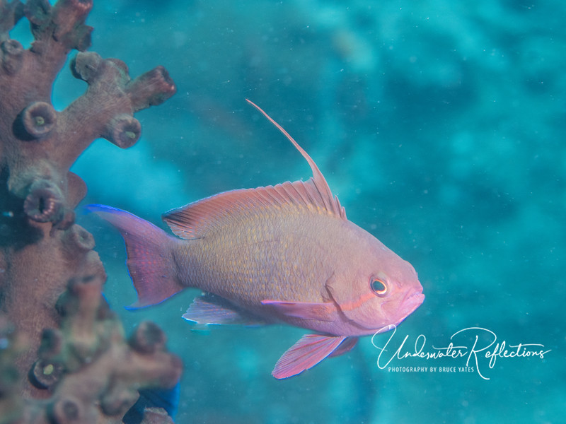 Anthias male (3 inches long)