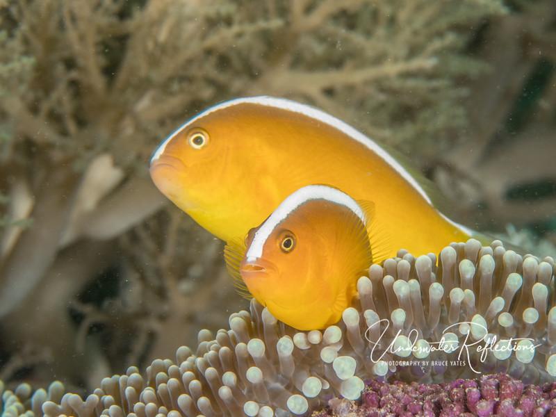 Orange skunk anemonefish pair (2-3 inches long)