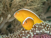 Orange skunk anemonefish pair (2-3 inches long)