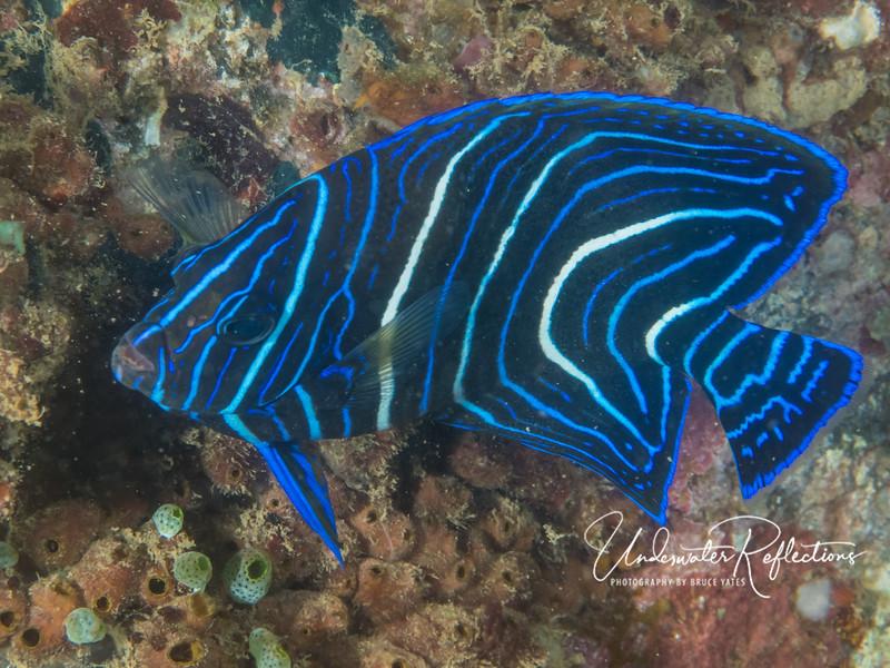 Juvenile Blue-ringed Angelfish (5 inches long) (Pomacanthus Semicirculatus)