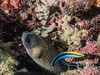 Yellow-spotted moray eel (mouth 2 inches) and cleaner wrasse (3 inches long)