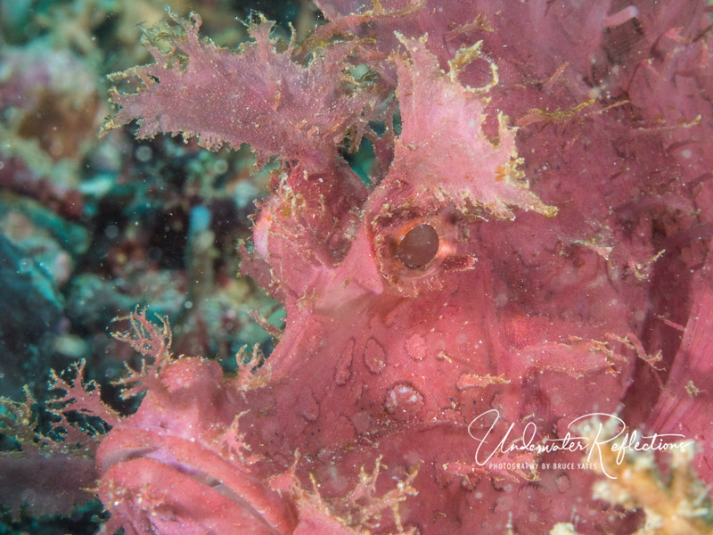 Rhinopias scorpionfish face. As is true with all scorpionfishes, the feathery bits around the mouth are designed to look like something edible. When a smaller fish swims close to get a bite, the scorpionfish sucks it in with one big gulp!