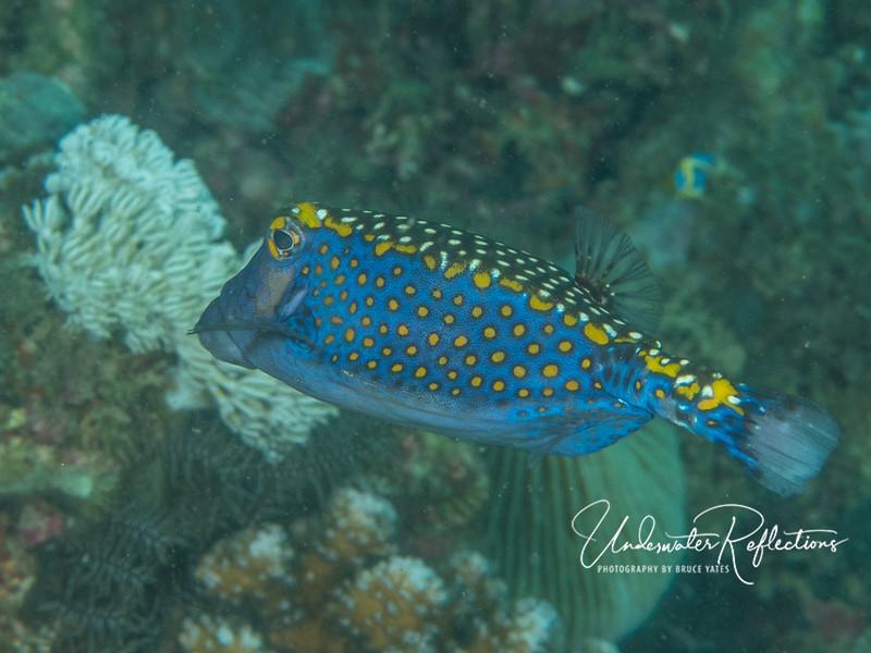 Boxfish - relative of cowfish.